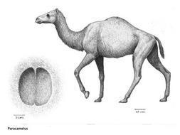 Hallan huellas de una nueva especie de camello de seis millones de años