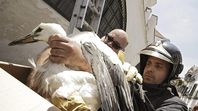 Rescatan a una cigüeña herida en las Atarazanas