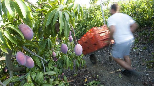 cultivo-mango-malaga--644x362.jpg