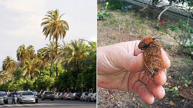 El Picudo Rojo Y Otras Plagas Que Sufren Los árboles De Sevilla