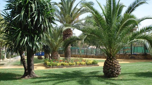 Utrera combate al picudo rojo gran amenaza para sus palmeras for Palmeras pequenas para jardin