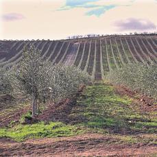 Sovena busca olivares en andaluc a para comprar o alquilar for Parcelas para alquilar en sevilla
