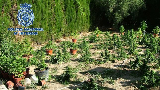 convierten el jard n de su casa en una plantaci n de marihuana On jardin de marihuana