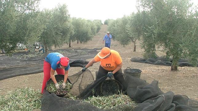 El olivar y la campaña navideña dejan 2.891 parados menos en Córdoba