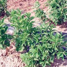 La stevia, un «dulce cultivo» para el Valle del Guadalquivir - abcdesevilla.es