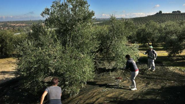 Agricultores en un cultivo de olivos de Jaén