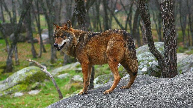 Un ejemplar de lobo ibérico en Sierra Morena