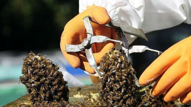La cosecha de miel caerá a la mitad en esta campaña