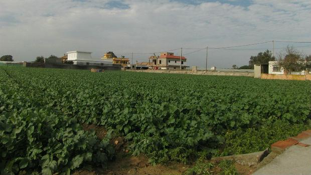 Cultivos en la colonia sanluqueña de la Algaida