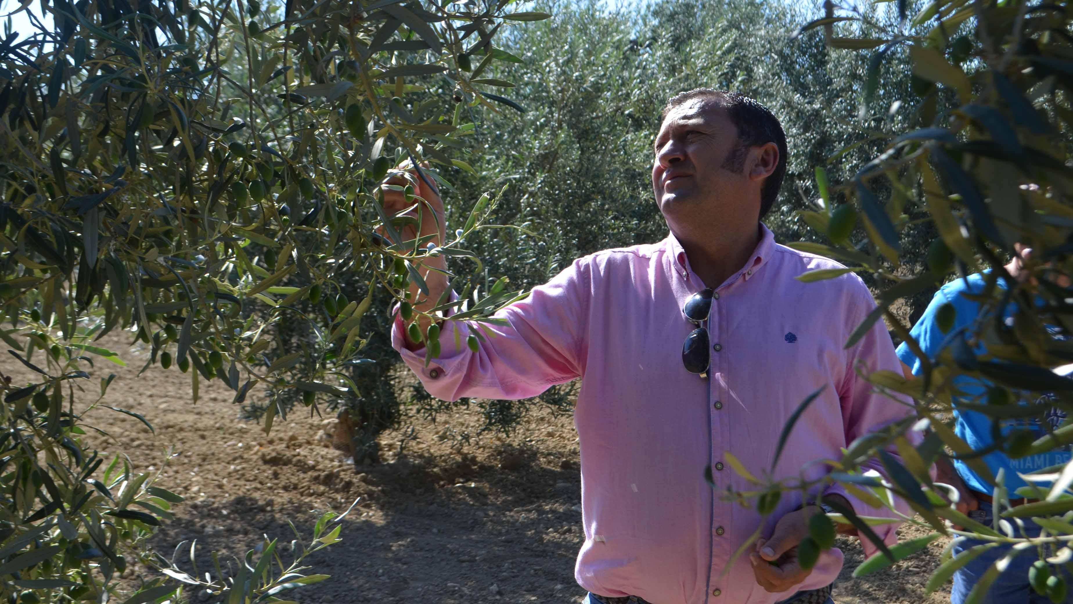 Utrera es uno de los mayores productores mundiales de aceituna gordal