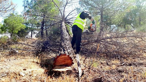 Un operario tala un pino en la Sierra de Baza