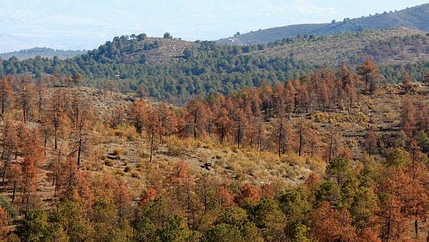Ejemplares de pino afectados por la plaga de perforadores en Almería