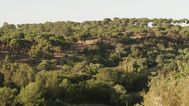 Alcalá conserva una importante masa forestal de pinos piñoneros