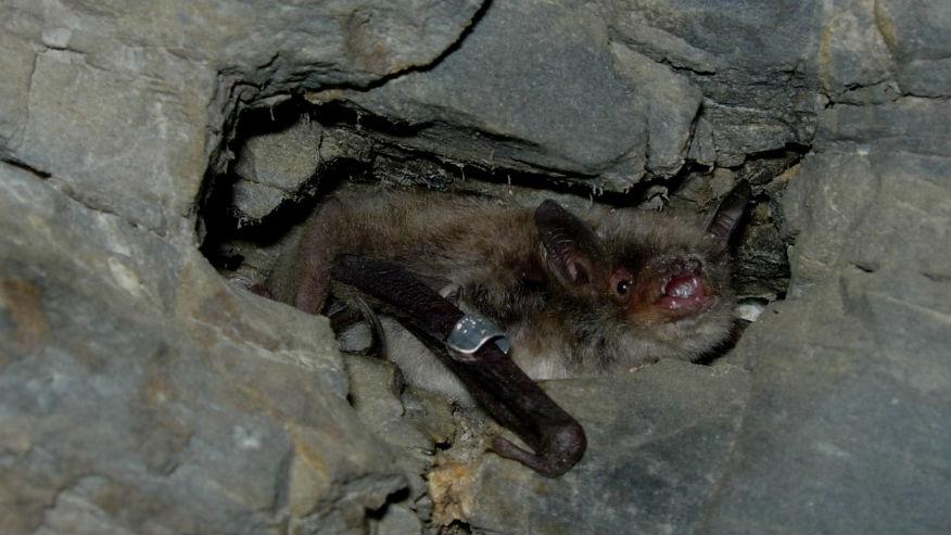 El murciélago es una especie protegida en Andalucía.