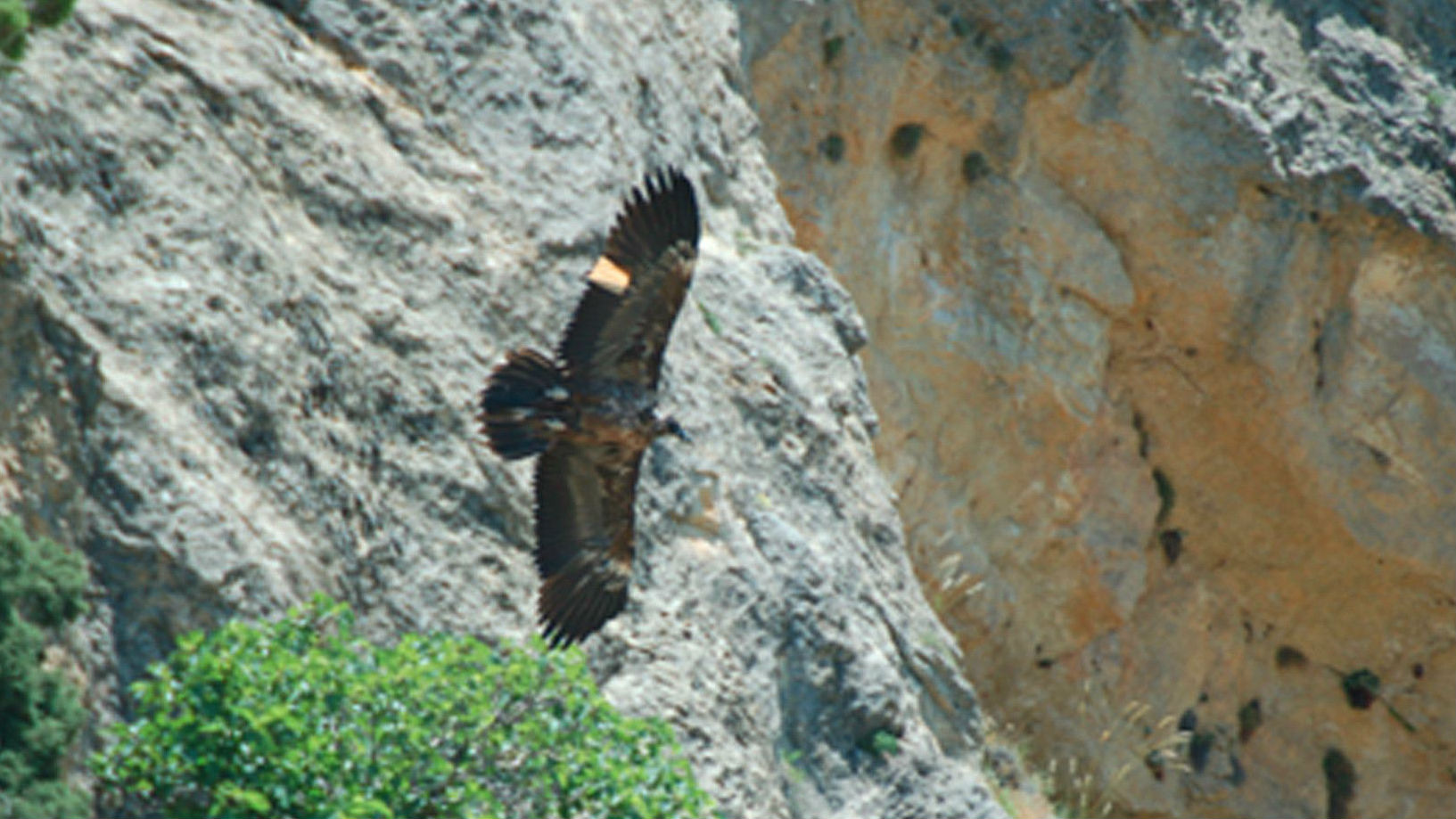 Quebrantahuesos liberado en el parque natural de Cazorla, Segura y Las Villas