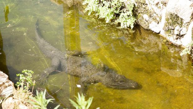 Un cocodrilo del Zoo de Córdoba