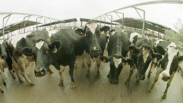 En la finca intervenida había un centenar de vacas
