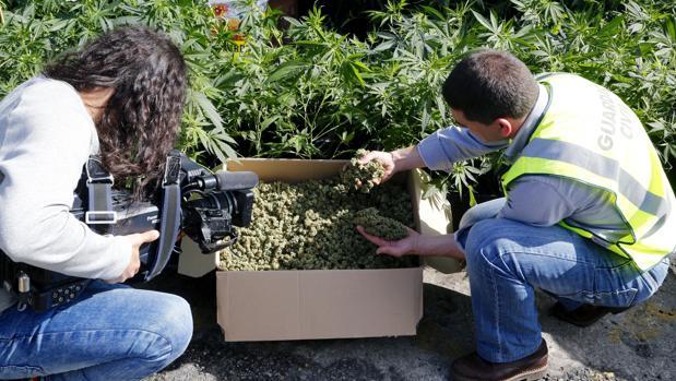 Un agente de la Guardia Civil junto a una plantación de marihuana descubierta