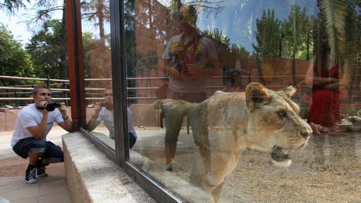 La leona del recinto zoológico de Córdoba