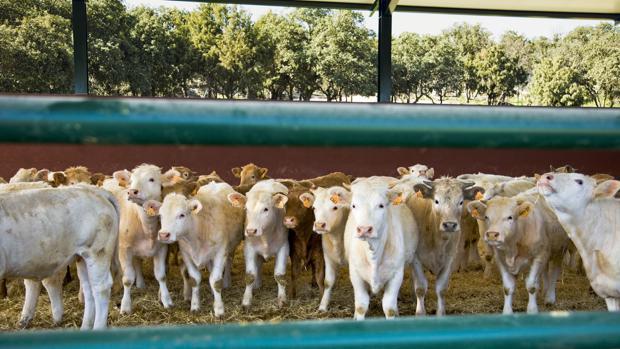 Vacas y terneros en una explotación ganadera
