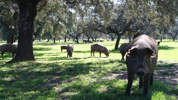 Piara de cerdos ibéricos en una dehesa