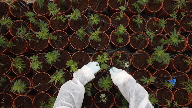 Desarrollan un tratamiento para la enfermedad de Huntington a partir del cannabis