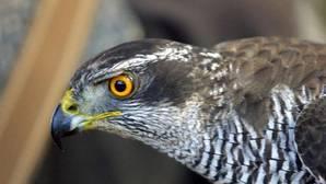 Detenido por cazar un azor, especie protegida, en Almadén de la Plata