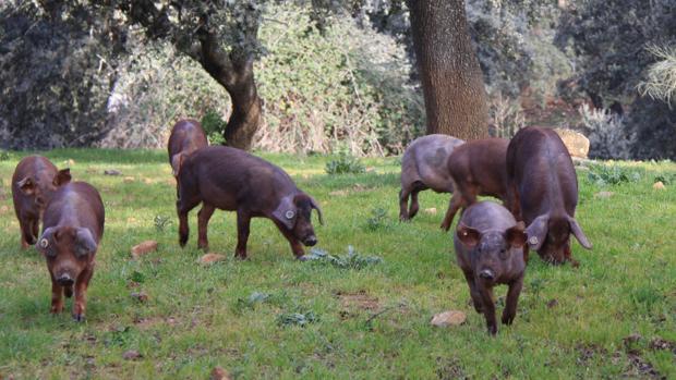 Una piara de cerdos ibéricos