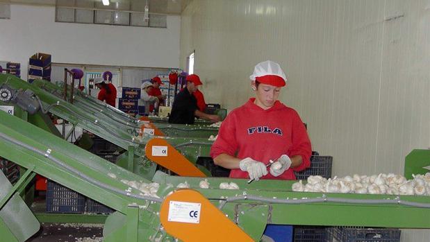 La campaña del ajo en Córdoba aumenta la superficie de cultivo en busca de las 30.000 toneladas