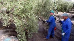 Dos trabaadores recogiendo aceitunas en Jaén