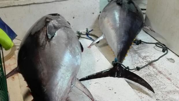 La Guardia Civil se ha incautado de 807 kilos de atún ilegal