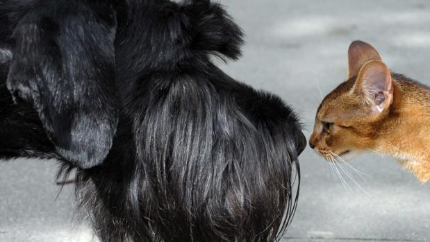 Un schnauzer gigante y un gato abisinio se huelen mutuamente