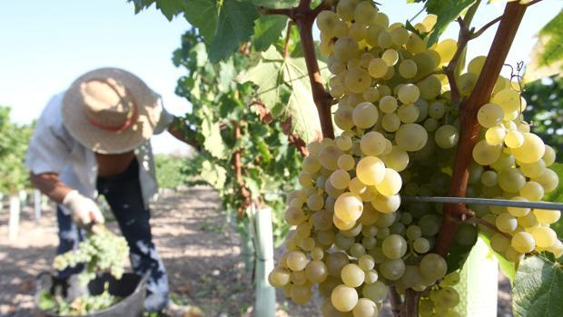 La Junta destina 650.000 euros a la reestructuración de más de 100 hectáreas de viñedo en Córdoba