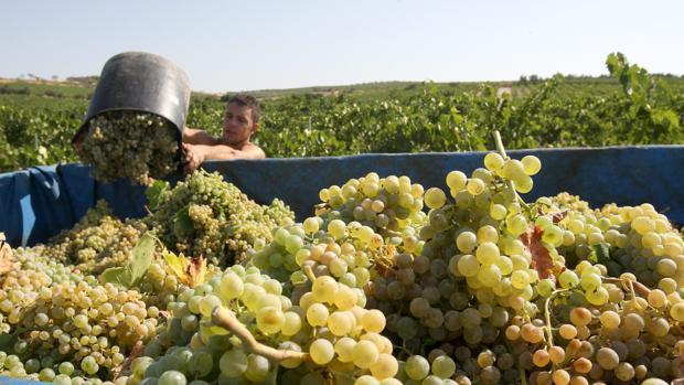 Un joven recogiendo uva en plena campaña de la vendimia