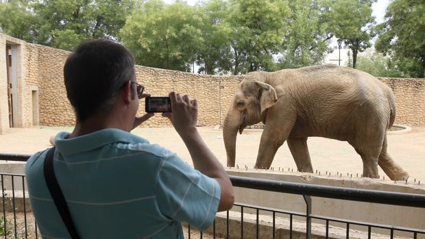 Un hombre saca una foto a la elefanta Flavia en el Zood de Córdoba