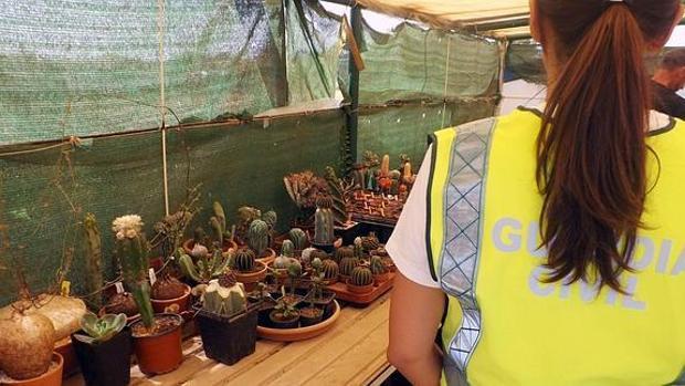 Varios cactus alucinógenos