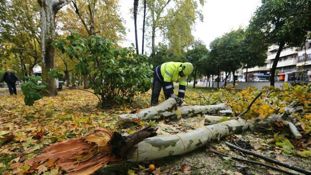 Un operario cortando un árbol para retirarlo de la vía pública en Conde de Vallellano