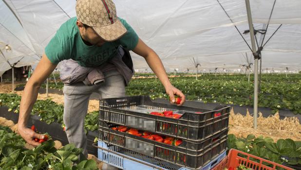 Un trabajador recolecta fresas en una explotación agrícola de Lepe
