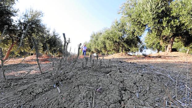 Aspecto de la tierra seca por falta de precipitaciones en un olivar
