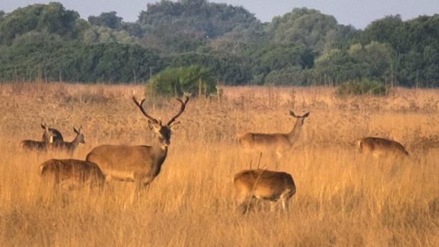 Un grupo de ciervos en el Parque Nacional de Doñana