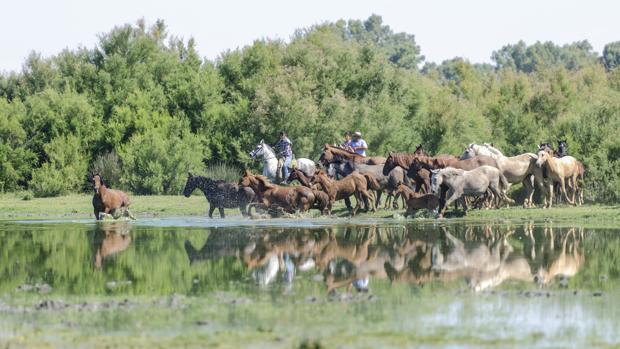 Varios ganaderos reúnen a sus yeguas para emprender el camino hacia Almonte