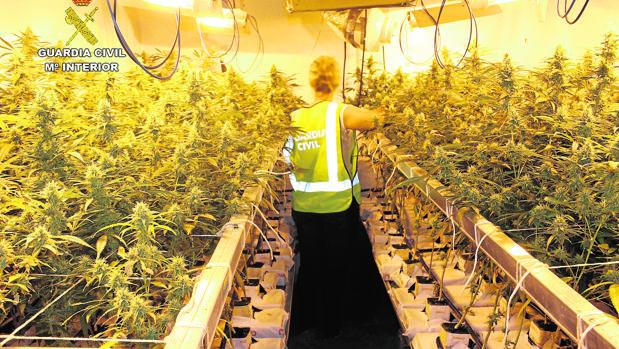 Plantación de marihuana intervenida en Córdoba