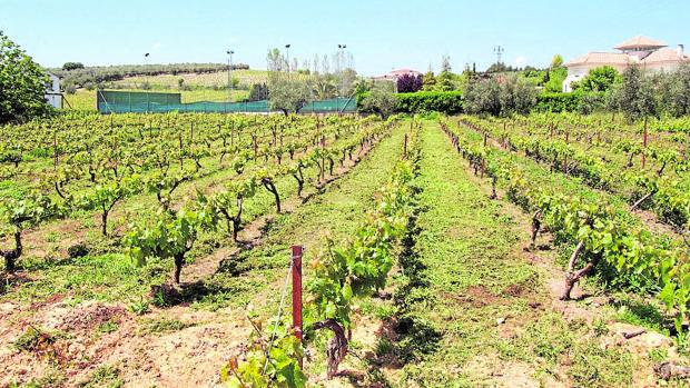 Imagen de viñedos en la zona Montilla-Moriles