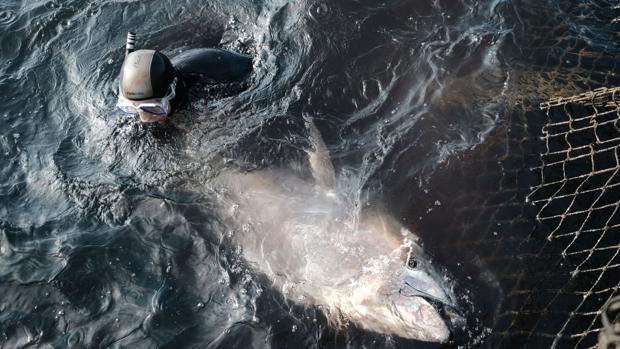 Uno de los atunes capturados en una almadraba de Barbate
