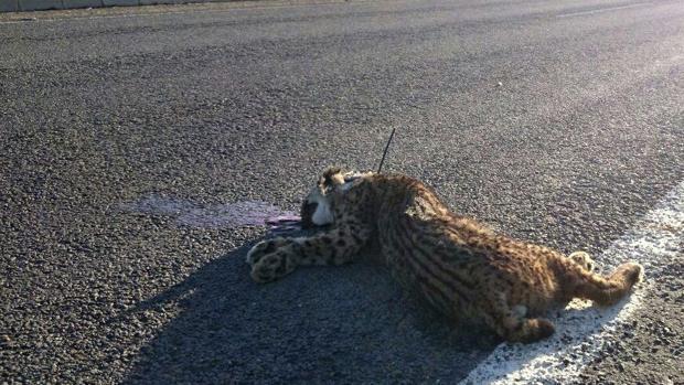 Imagen de archivo de un lince atropellado en una carretera del entorno de Doñana
