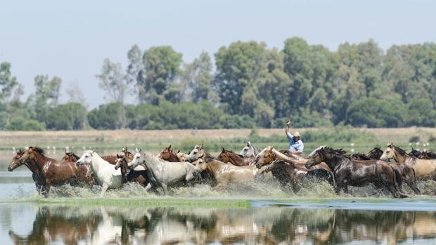 Un yegüerizo dirige a la tropa en las marismas de Doñana
