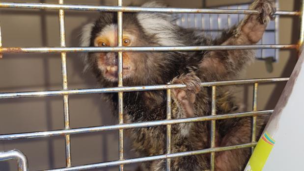 """Mono """"titi"""" recuperado por la Guardia Civil en Carcabuey"""