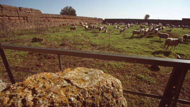 Patio de armas del castillo de El Vacar (Espiel), empleado como redil para el ganado