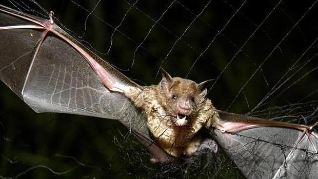 Un ejemplar de murciélago