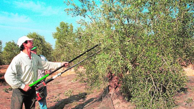 Jornaleros trabajan en un olivar
